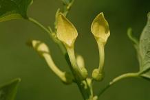 Flower-of-European-Birthwort
