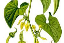 Plant-Illustration-of-European-Birthwort
