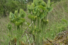 European-Birthwort-plant-growing-Wild