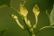 Flower-of-European-Birthwort