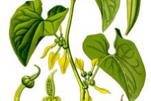 Plant-Illustration-of-European-Birthwort