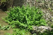 European-marshwort-Plant-growing-wild