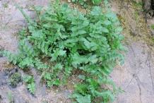European-marshwort-Plant