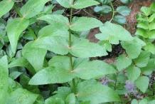 Leaves-of-European-marshwort