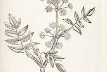 Sketch-of-European-marshwort