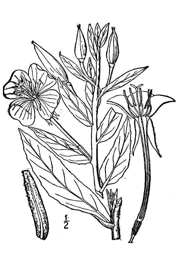 Drawing-of-Primrose