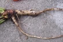 Evening-Primrose-root
