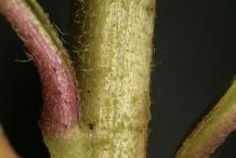 Evening-Primrose-stem