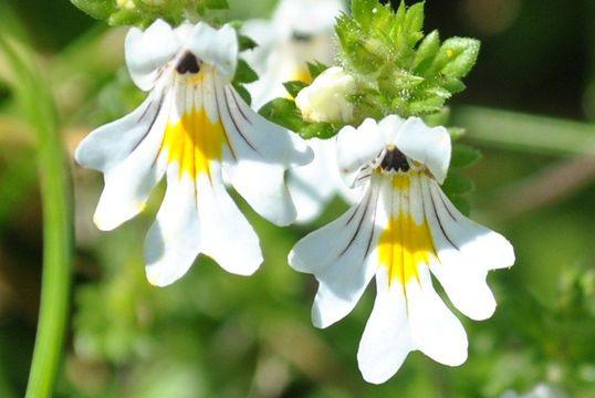 Eyebright-Flower