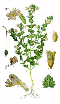 Eyebright-Plant-Illustration