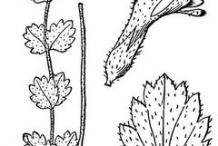 Eyebright-plant-Sketch