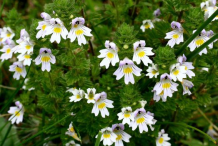 Eyebright-Bushes
