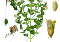 Eyebright-Plant-Illustration