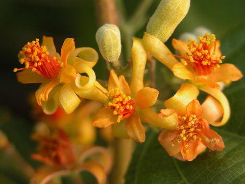Falsa-Flower