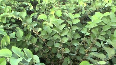 Falsa-plant-growing-wild