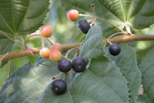 Ripe-&-Unripe-fruits-on-the-plant