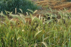 False-Barley-Plant