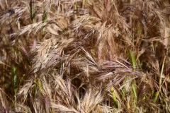 Mature-False-Barley-plant