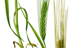 Plant-Illustration-of-False-barley