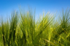 Spikelets-of-False-barley