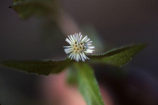 Flower-of-False-daisy