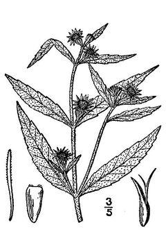 Sketch-of-False-daisy
