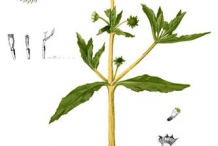 Plant-Illustration-of-False-daisy