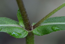 Stem-showing-Leaf-bases