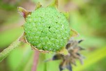 Unripe-Fruit-of-False-daisy