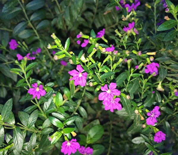 False-heather-plant