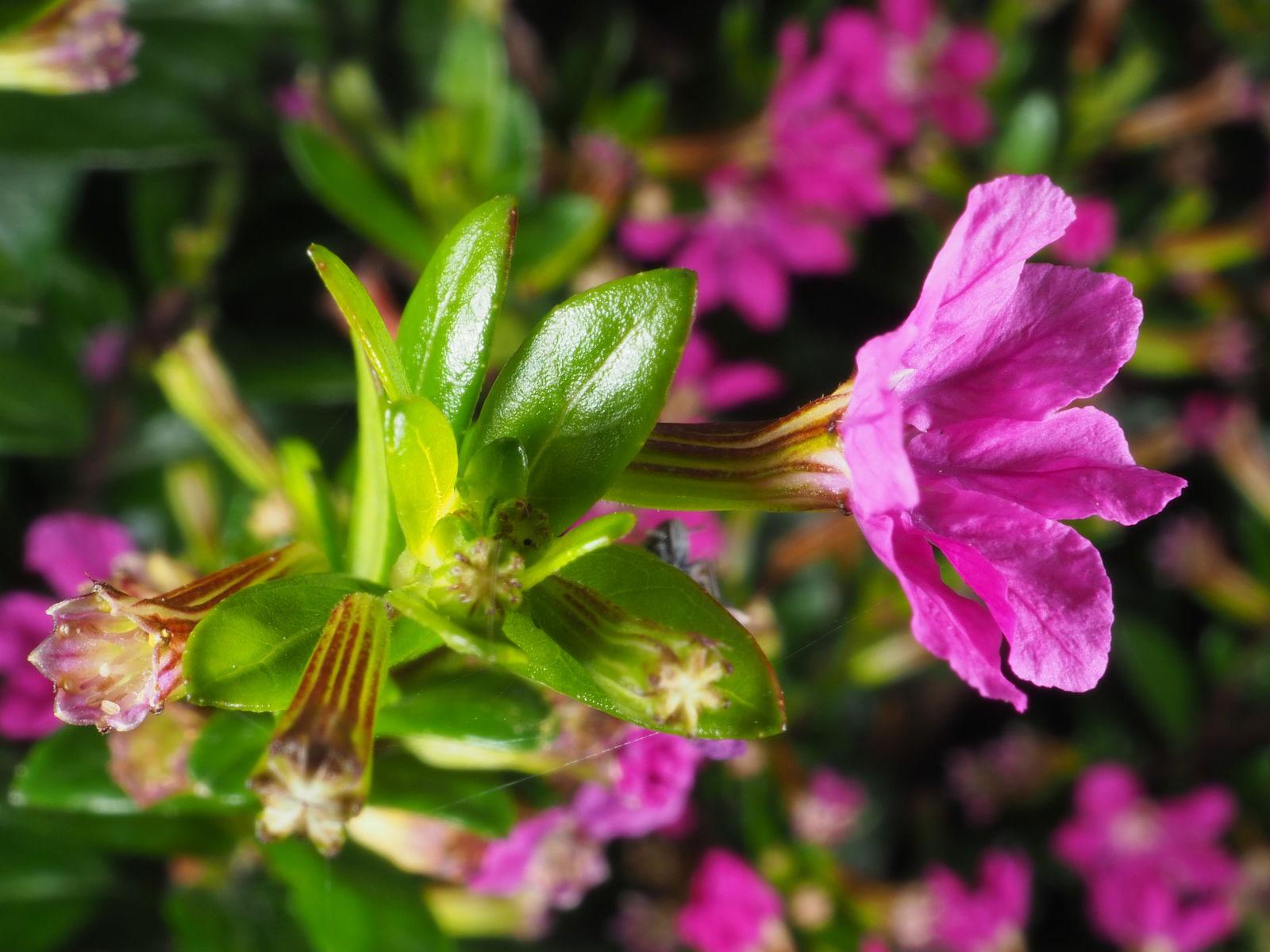 Flower-of-False-heather-plant
