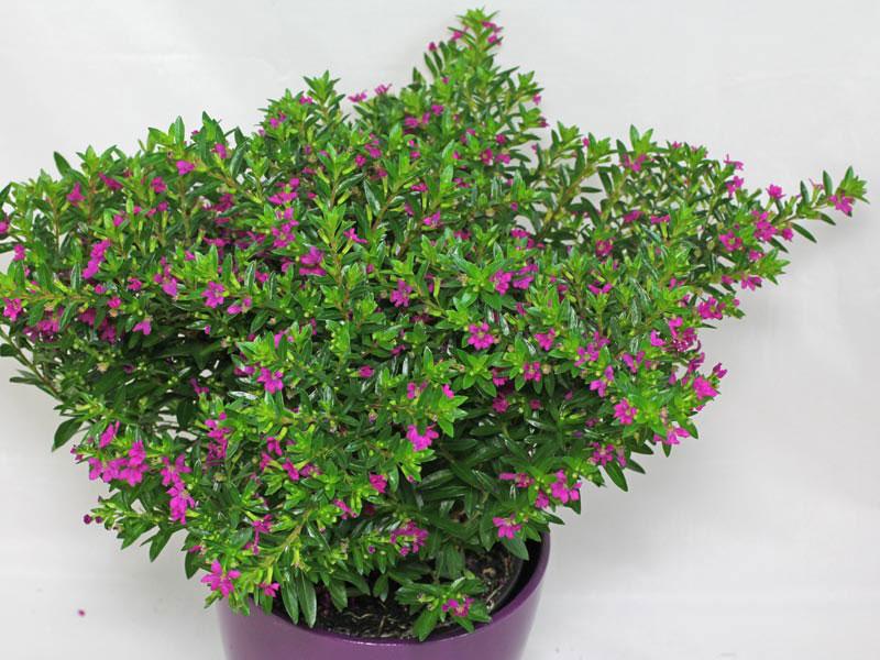 Small-False-heather-plant-on-the-pot
