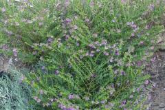 False-heather-plant-growing-wild