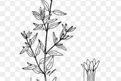 Plant-Illustration-of-False-heather