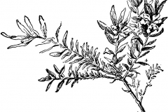 Sketch-of-False-heather