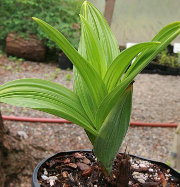 False-Hellebore--Plant-grown-on-pot