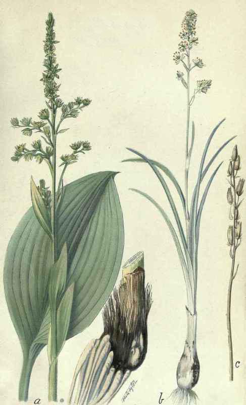 False-Hellebore--plant-Illustrations