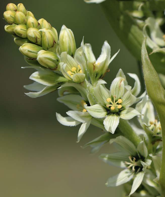 Flowers-of-False-Hellebore