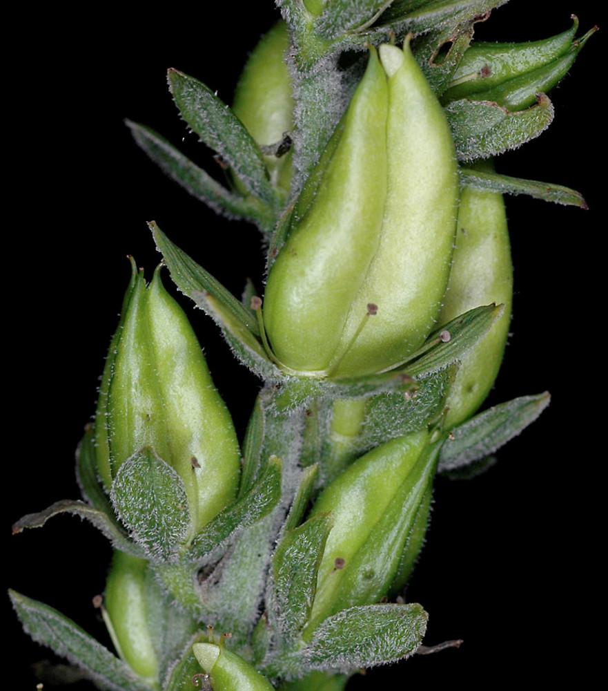 Fruits-of-False-Hellebore