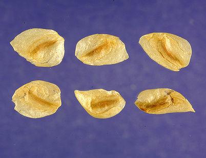 Seeds-of-False-Hellebore-plant