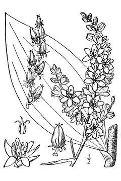 Sketch-of-False-Hellebore-plant