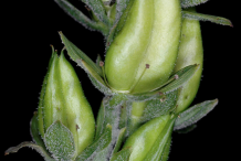 Fruits-of-False-Hellebore