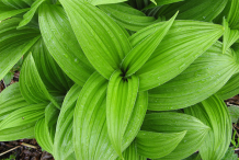 Leaves-of-False-Hellebore