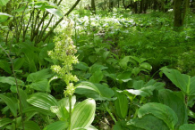 False-Hellebore--Plant-growing-Wild