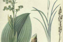 False-Hellebore--plant-Illustrations