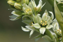 Flowers-of-False-Hellebore