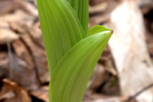 Small-False-Hellebore-Plant