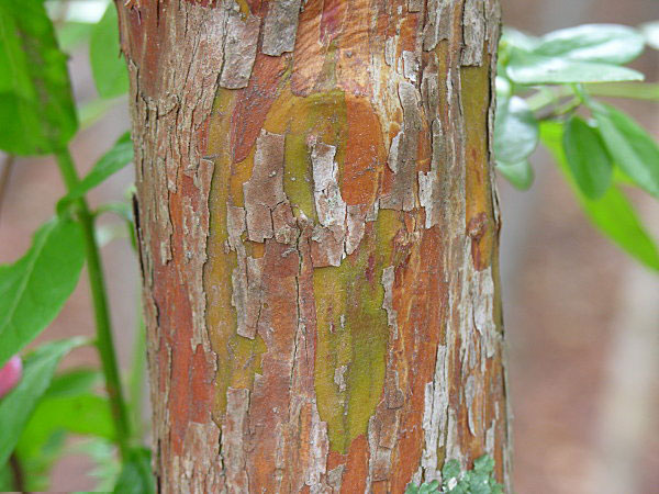 Bark-of-Farkleberry-tree