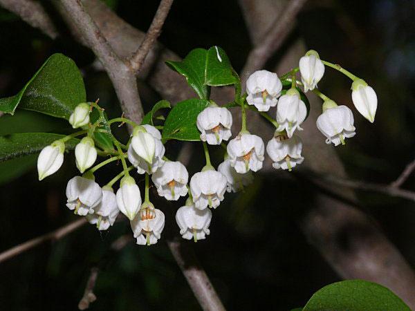 Flowers-of-Farkleberry
