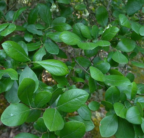 Leaves-of-Farkleberry